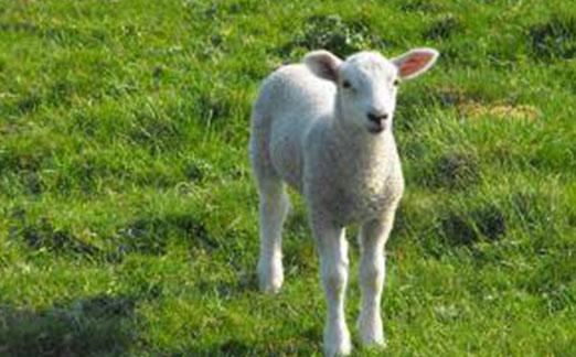 دانلود فایل صدای گوسفند