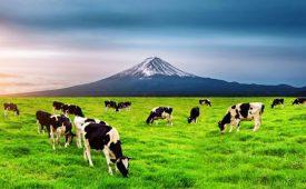 دانلود فایل صدای گاو